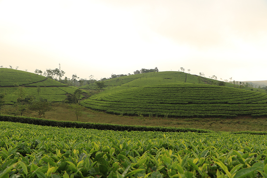 tea-plantations-vagamon
